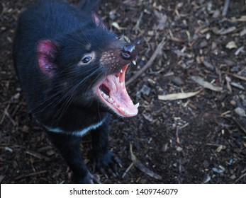 a tasmanian devil (Sarcophilus harrisii) screaming in an exhibition, a tasmanian devil with wide jaw opening