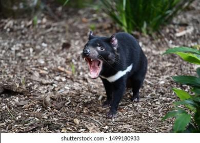Tasmanian Devil showing his teeth
