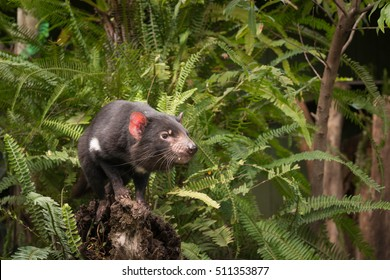 Tasmanian Devil Sitting on log among ferns
