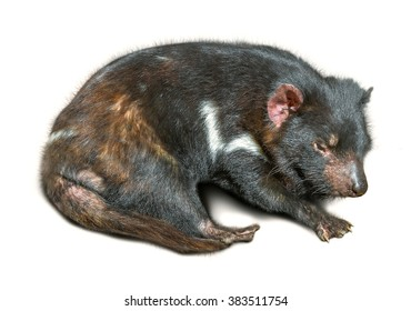 Tasmanian devil sleeping, isolated on white background.