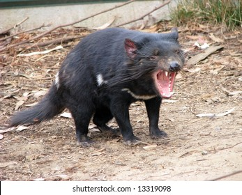 tasmanian devil snarling