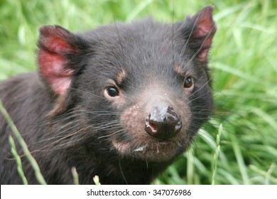 Tasmanian Devil taken in North Western Tasmania
