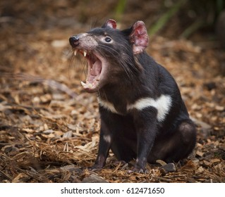 Tasmanian Devil, They are Australia's largest living carnivorous marsupial. They are only wild in Tasmania but scientists have been calling for them to be reintroduced to the mainland.