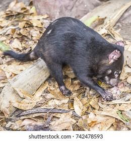 Tasmanian Devil, They are Australia's largest living carnivorous marsupial, Symbol of Tasmania Island, Australia