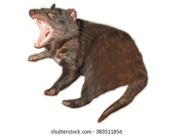 A Tasmanian devil yawns in Tasmania's local conservation parks, isolated on white background.