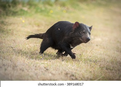 Tasmanian devil's running in a grass field