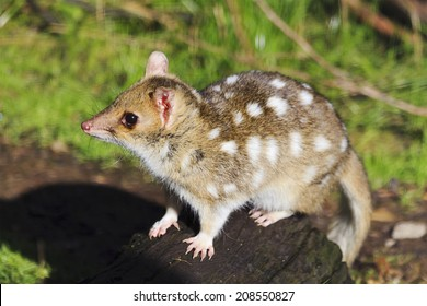 Tasmanian endemic endangered carnivore spotted quoll side view in wild