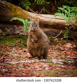 Tasmanian pademelon aka the rufous-bellied or red-bellied pademelon. They are smaller than Kangaroos and Wallabies but have the same body shape. Looking directly at you with forest background.