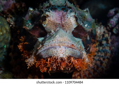 A Tasseled scorpionfish lies in wait for prey in Wakatobi National Park, south of Sulawesi in Indonesia. This beautiful region harbors amazing reefs and a wide array of marine life.