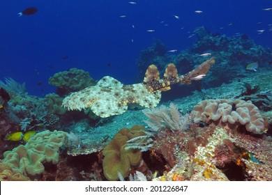 Tasseled wobbegong (Eucrossorhinus dasypogon) swimming over the reef