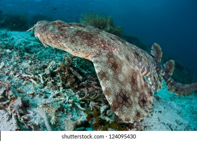 A Tasseled wobbegong (Eucrossorhinus dasypogon) uses its pattern, color, and body shape to camouflage itself on a coral reef floor.  This is an ambush predator.