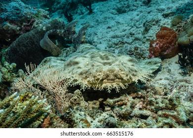 Tasselled Wobbegong (Eucrossorhinus dasypogon)