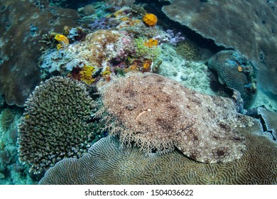 A Tasselled wobbegong, Eucrossorhinus dasypogon, lies in wait on a coral reef amid the remote islands of Raja Ampat, Indonesia. This equatorial region is possibly the center for marine biodiversity.
