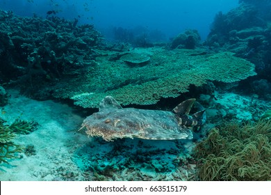 Tasselled Wobbegong (Eucrossorhinus dasypogon) swimming over a coral reef