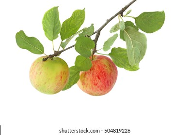 Tasty apples on a branch isolated on white background