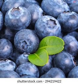 Tasty freshly picked blueberries background