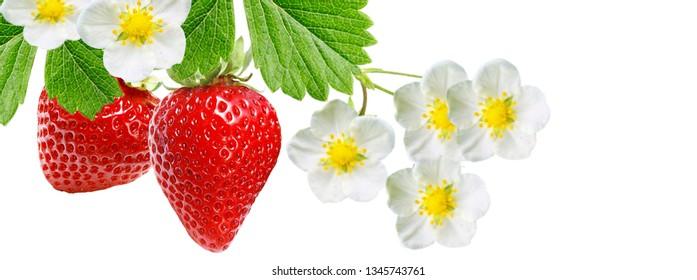 tasty garden red strawberry on white