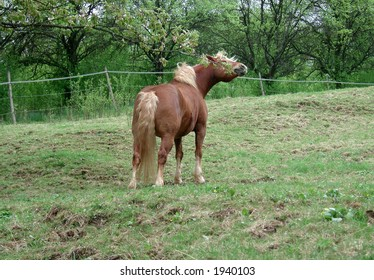 Tasty! - Haflinger horse eating branches of a blooming cherry tree