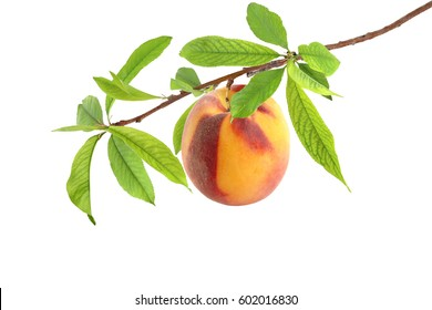 Tasty peach on a branch isolated on white background