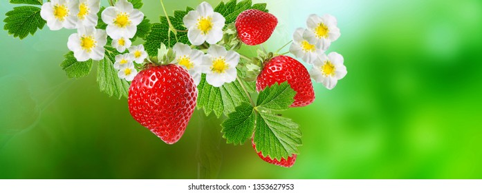 tasty red strawberry.garden fruits plant