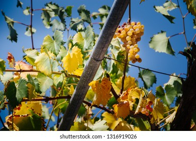 tasty ripe white grapes on the background of blue sky