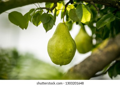 Tasty young healthy organic juicy pears hanging on a branch