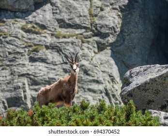 Tatra chamois in Hight Tatras. Rupicapra rupicapra tatrica. Stones and green grass in background .