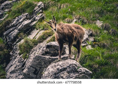 Tatra chamois, one of the symbols of Polish mountains
