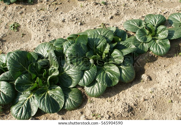 Tatsoi Growing Vegetable Garden Stock Photo Edit Now 565904590