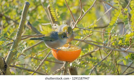 Tauhou (NZ silvereye birds) arguing over an orange