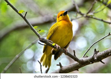 Taveta Golden Weaver on a Branch