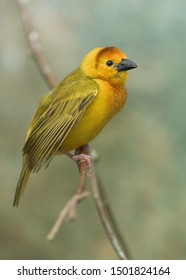 Taveta Golden Weaver (Ploceus castaneiceps) perched on tree branch