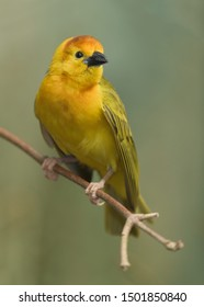 Taveta Golden Weaver (Ploceus castaneiceps) perched on a tree branch