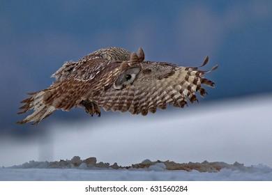 Tavny owl