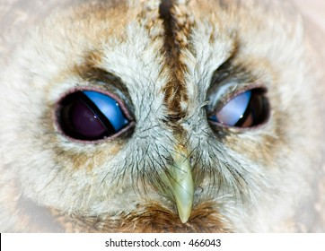 Tawn Owl baby, showing the unique blue membranes covering the eyes when the owl blinks