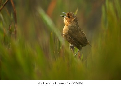 Tawny Antpitta, Grallaria quitensis alticola, small, hard to find bird, pitta living in high altitudes, mainly in páramo up to 4500m, singing. Colombia, Chingaza national park.