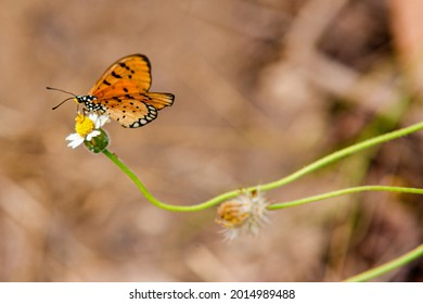 Tawny Coster butterfly (Arthropoda: Lepidoptera: Nymphalidae: Acraea violae) An orange winged butterfly sits on weed In the forest