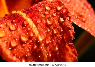 Tawny Daylily and Raindrops, Webster County, West Virginia, USA