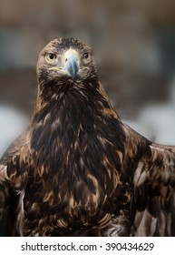 Tawny Eagle (Aquila rapax) is a large bird of prey. The eagle looks at with a stern intensity.