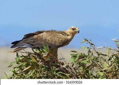 Tawny eagle (Aquila rapax) sitting on a branch tree, Africa, Kenya