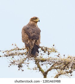 Tawny eagle (Aquila rapax) in a tree on the Serengeti
