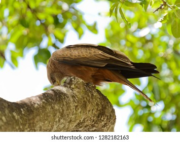 Tawny Eagle (Aquila rapax) in a tree, Tanzania