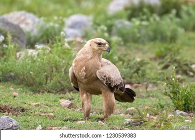 Tawny eagle bird of prey on green meadow at Serengeti National Park in Tanzania, East Africa