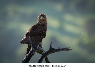 Tawny eagle facing camera on twisted branch