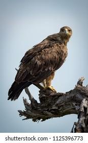 Tawny eagle facing camera on dead branch