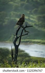 Tawny eagle facing camera with river behind