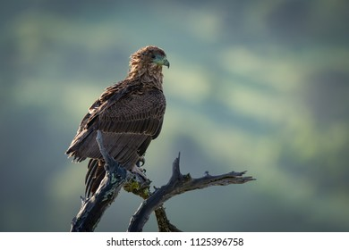 Tawny eagle facing right on twisted branch