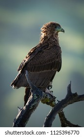 Tawny eagle facing right on dead branch