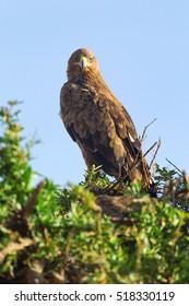 Tawny Eagle nesting on a tree in Masai Mara, Kenya