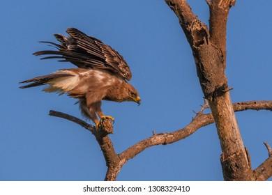 Tawny Eagle on African safari